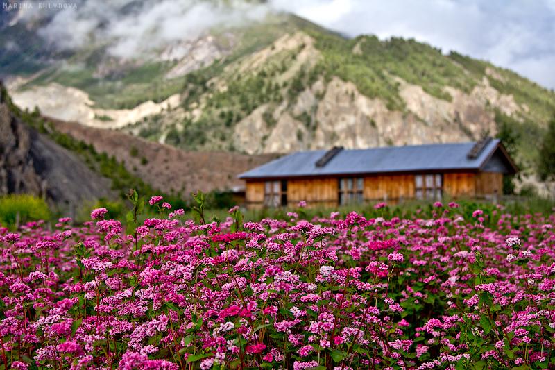 Гречиха: фото, описание, как цветет гречиха, ее польза и