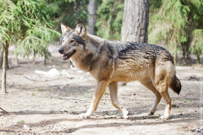 Волк. Беларусь.