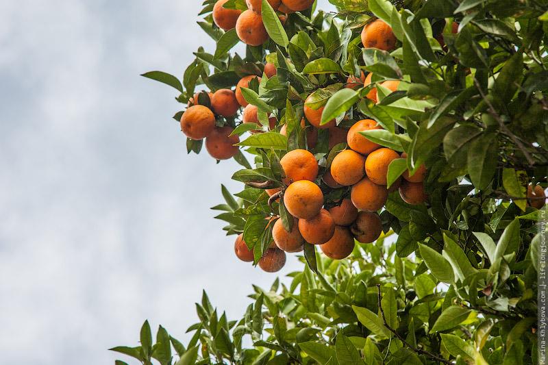 Путь Сантьяго. Апельсины.
