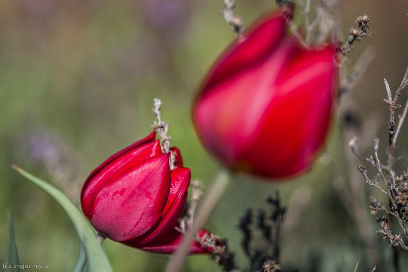 Казахские тюльпаны