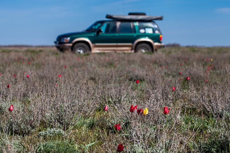 Форд и тюльпаны