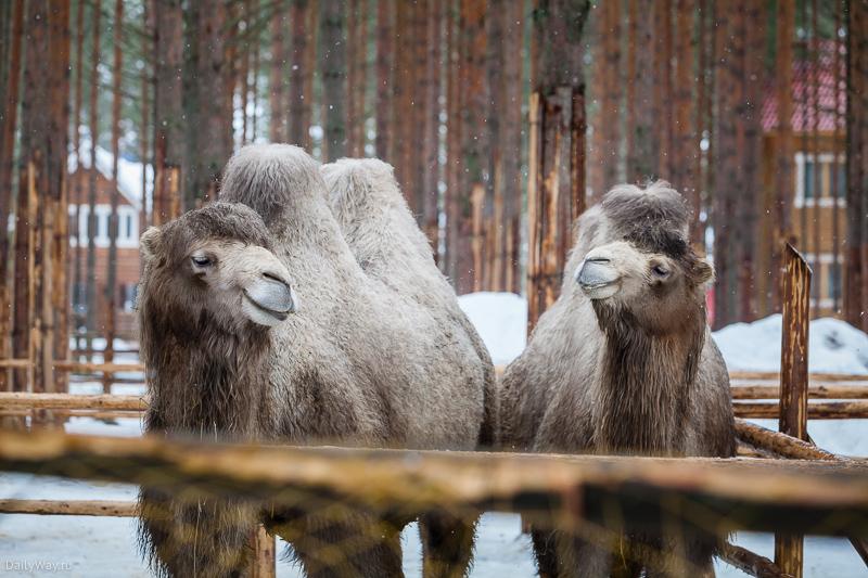 Пушистые верблюды в Зоопарке Деда Мороза